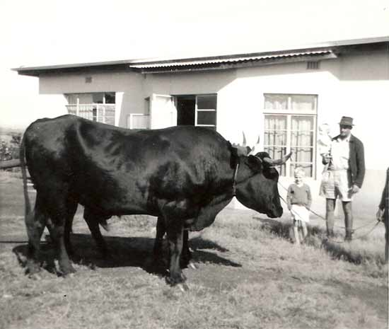 Cattle at Farm House